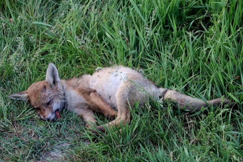 Dood vosje in Broekpolder gestorven aan longworm