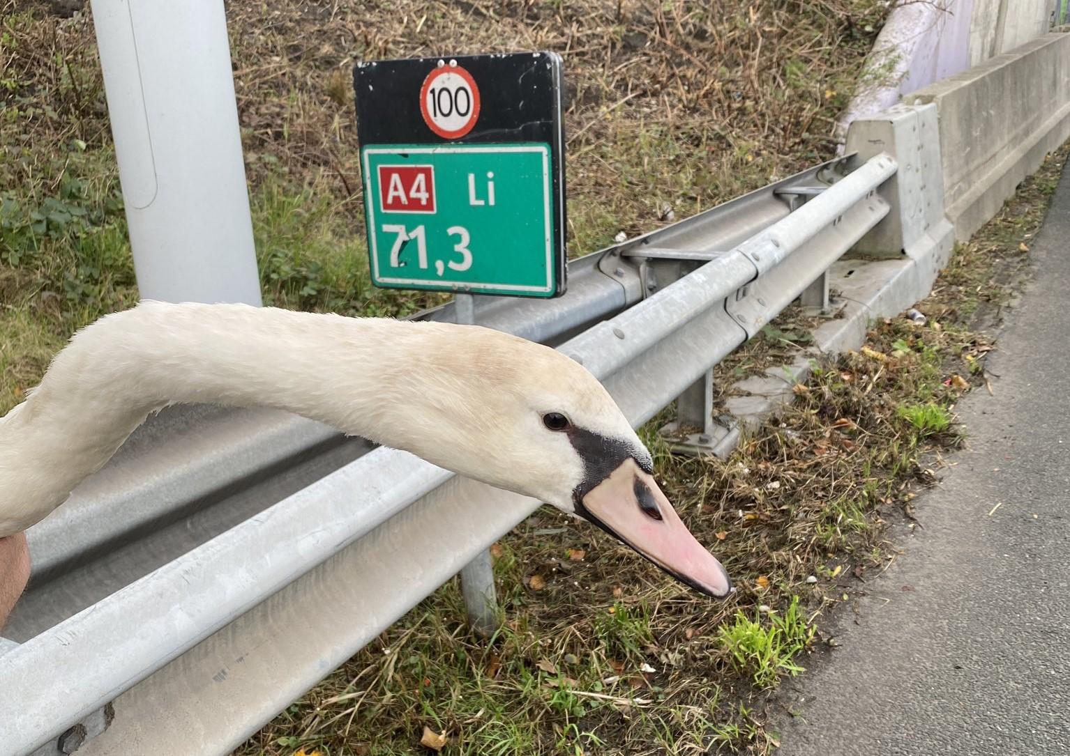 Zwaan van de A4 bij Vlaardingen gered