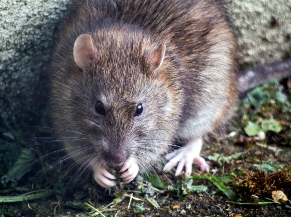 Rattenvallen gevaarlijk voor kinderen en huisdieren