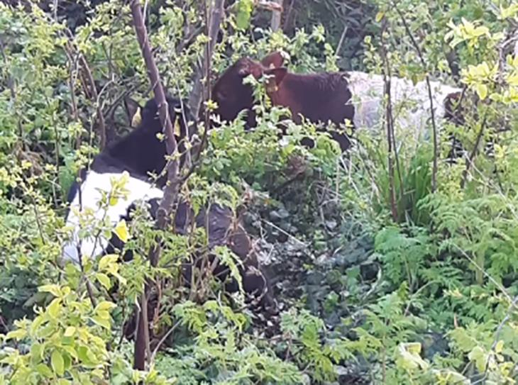 Ontsnapte koeien gaan lekker chillen in de Drevenbuurt