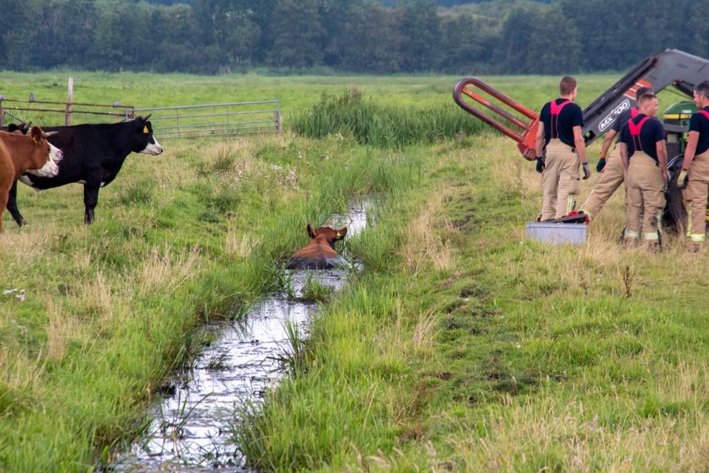 Brandweer vist koe uit de sloot