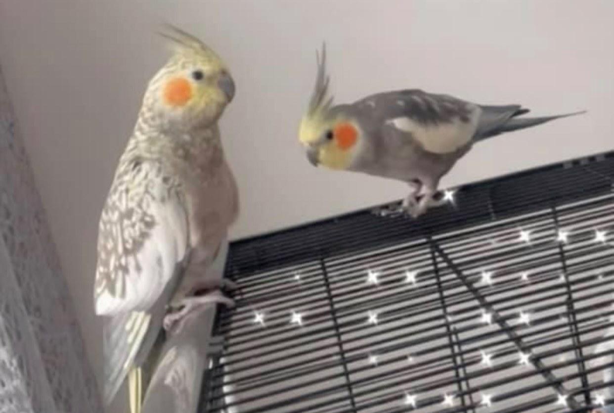 Valkparkieten nemen de vleugels