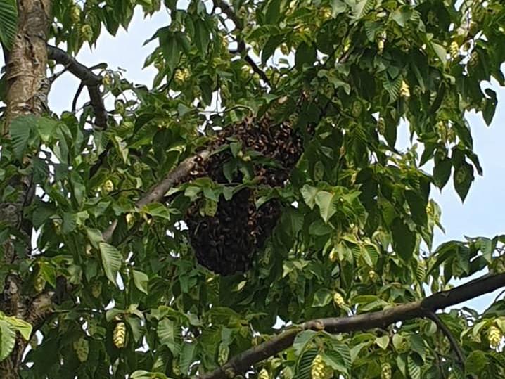 Bijennest weggehaald aan Zeemandreef