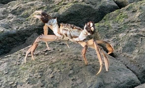 Politie weer in actie tegen 'krabbevangers'