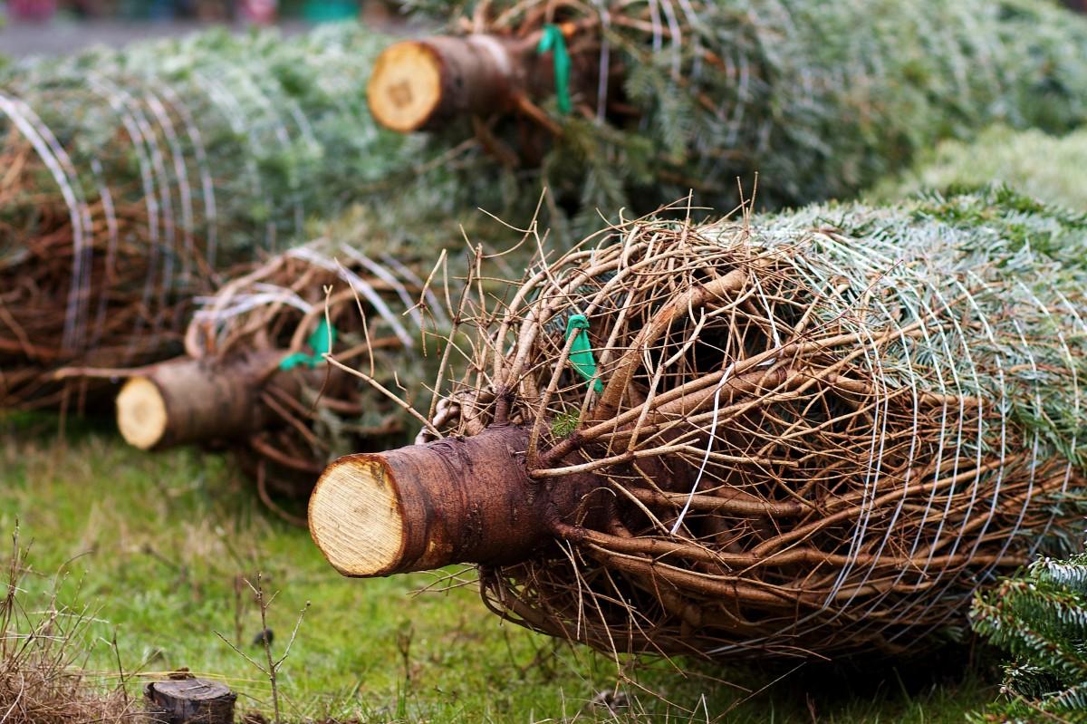 Kerstbomenverkoop van start