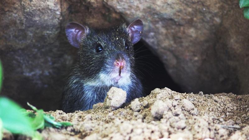 Maassluis Belang: Is er een strategie tegen rattenoverlast?