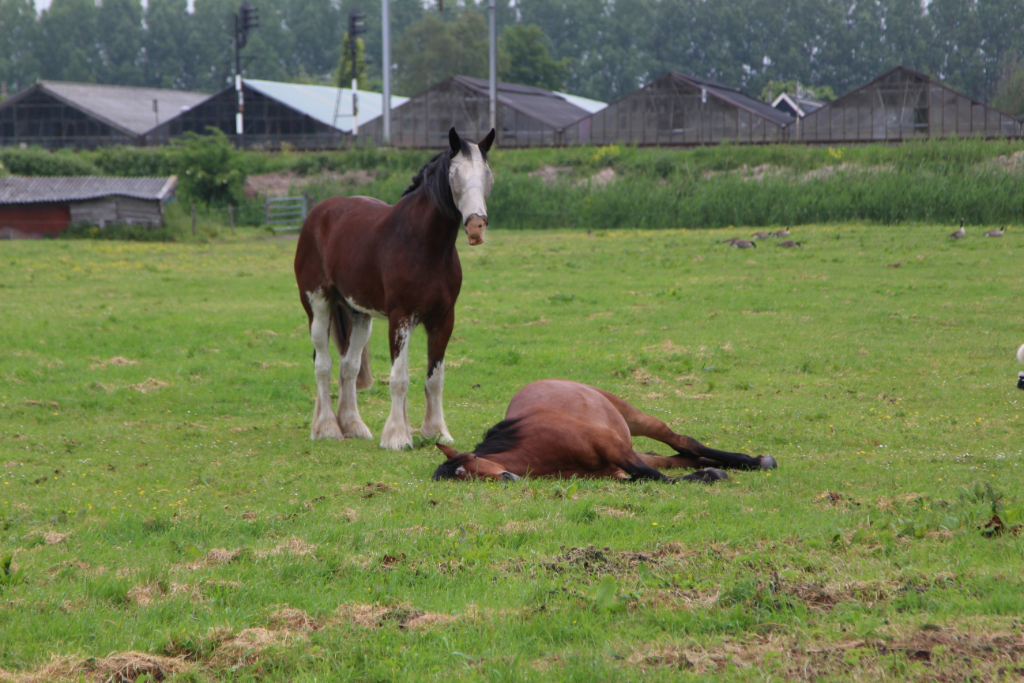 Paard slaapt, maar omstanders vrezen wat anders