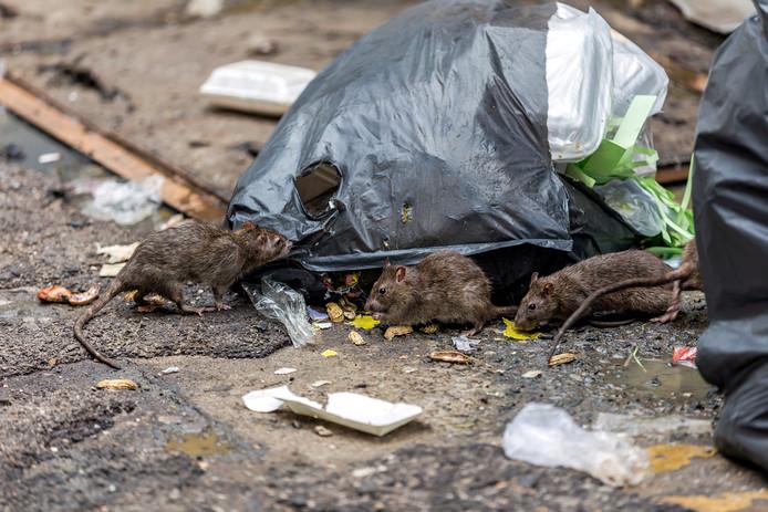Opnieuw een reden om de struiken te snoeien: ratten!