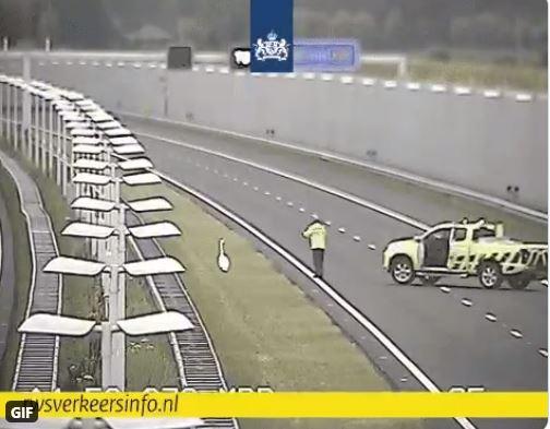 Weginspecteur brengt zwaan op A4 in veiligheid