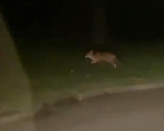 Een vos in de Botenbuurt