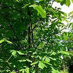 Stekje van Anne Frankboom komt uiteraard in de Plantage