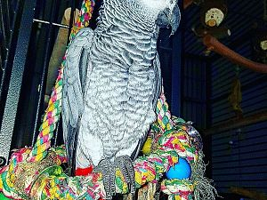 Papagaai Pipi weggevlogen