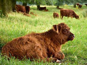 Op zoek naar de grote grazers in de Broekpolder