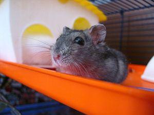 Hamsteren neemt af maar klussen neemt toe