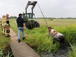 Brandweer haalt koeien uit de sloot