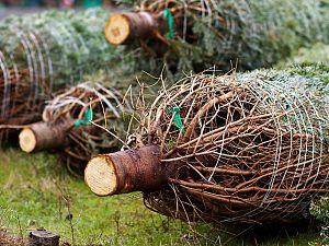 Weer duizenden kerstbomen opgehaald!