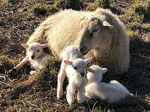 Lammetjes knuffelen op tweede paasdag