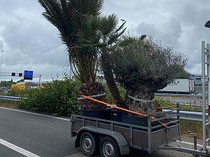 Palmboom zorgt voor file Beneluxtunnel