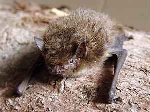Provincie besluit: leven van vleermuizen verstoren mag bij renovatie flats