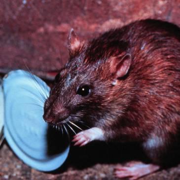 Rattenplaag in Heerlerheide